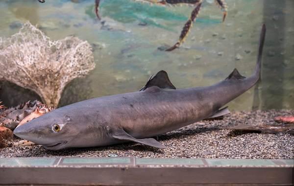 Катран-акула-Описание-особенности-виды-образ-жизни-и-среда-обитания-катрана-3