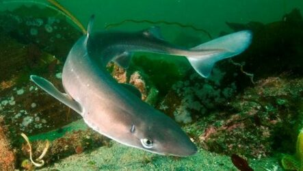 Катран акула. Описание, особенности, виды, образ жизни и среда обитания катрана