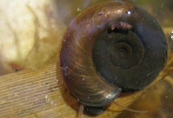 Катушка-улитка-моллюск-Описание-особенности-жизнедеятельность-польза-и-вред-катушки-улитки-11