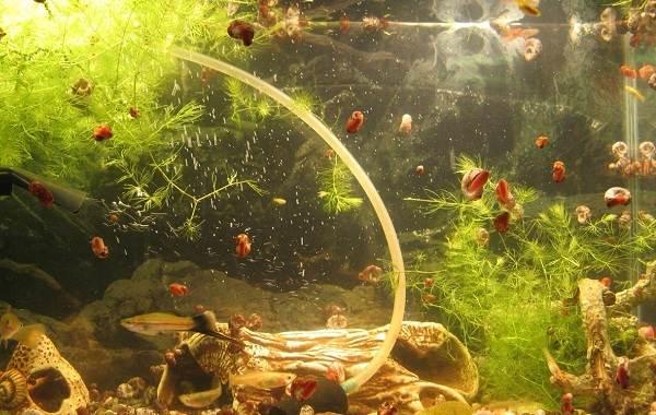 Катушка-улитка-моллюск-Описание-особенности-жизнедеятельность-польза-и-вред-катушки-улитки-13