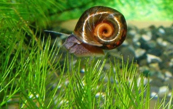 Катушка-улитка-моллюск-Описание-особенности-жизнедеятельность-польза-и-вред-катушки-улитки-15