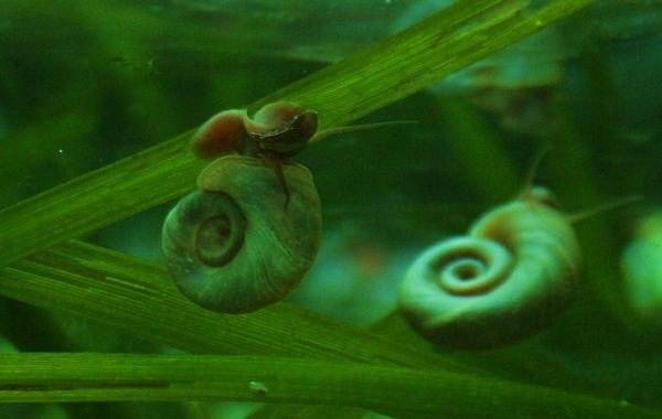 Катушка-улитка-моллюск-Описание-особенности-жизнедеятельность-польза-и-вред-катушки-улитки-19