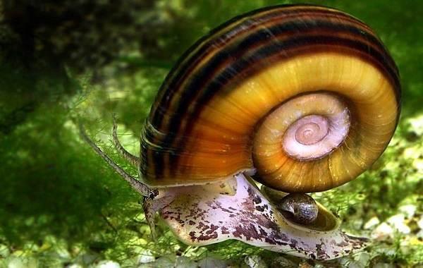 Катушка-улитка-моллюск-Описание-особенности-жизнедеятельность-польза-и-вред-катушки-улитки-2