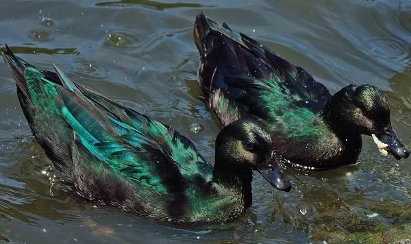 Каюга-утка-Описание-особенности-виды-образ-жизни-и-среда-обитания-птицы-каюги-2