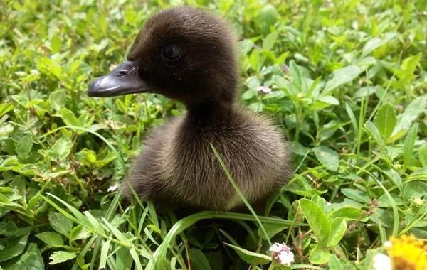Каюга-утка-Описание-особенности-виды-образ-жизни-и-среда-обитания-птицы-каюги-4