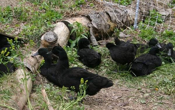 Каюга-утка-Описание-особенности-виды-образ-жизни-и-среда-обитания-птицы-каюги-5