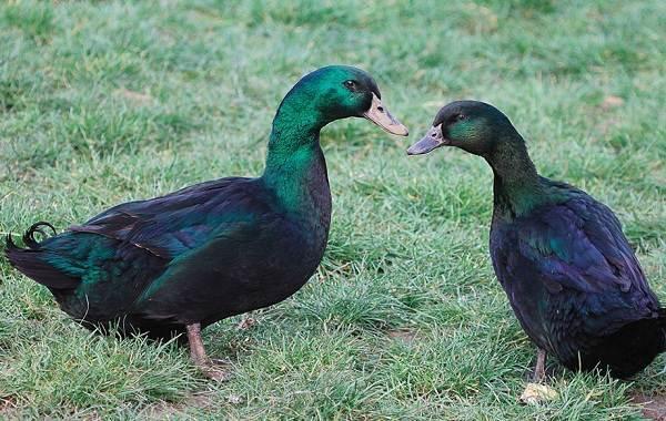 Каюга-утка-Описание-особенности-виды-образ-жизни-и-среда-обитания-птицы-каюги-8
