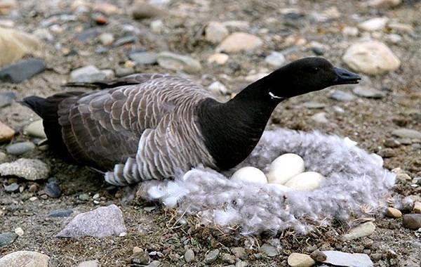 Казарка-птица-Описание-особенности-виды-образ-жизни-и-среда-обитания-казарки-1