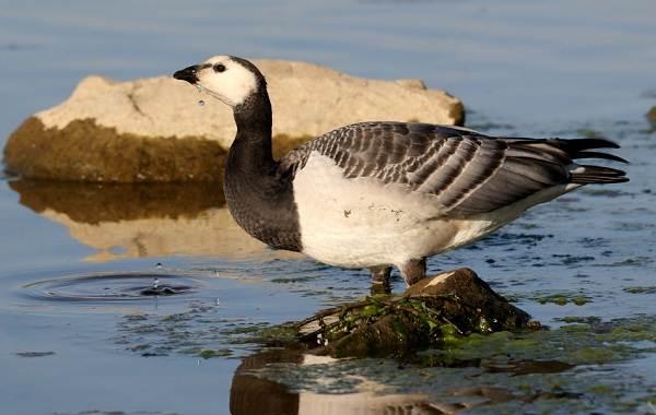 Казарка-птица-Описание-особенности-виды-образ-жизни-и-среда-обитания-казарки-11
