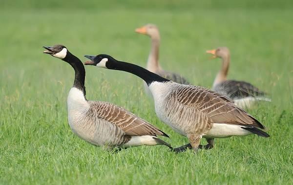 Казарка-птица-Описание-особенности-виды-образ-жизни-и-среда-обитания-казарки-15