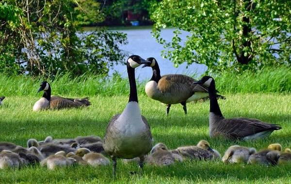 Казарка-птица-Описание-особенности-виды-образ-жизни-и-среда-обитания-казарки-19