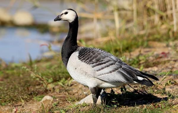 Казарка-птица-Описание-особенности-виды-образ-жизни-и-среда-обитания-казарки-3