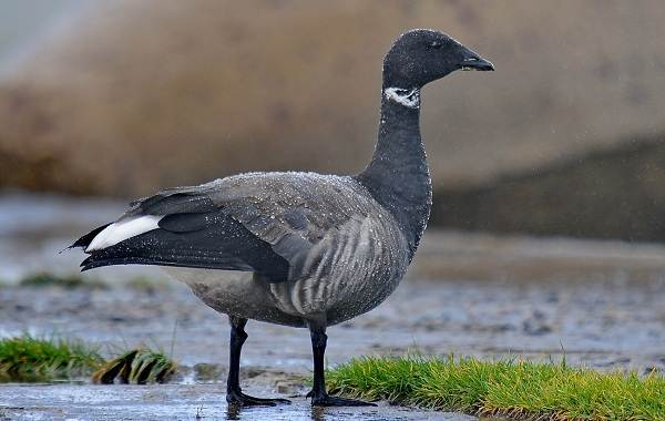 Казарка-птица-Описание-особенности-виды-образ-жизни-и-среда-обитания-казарки-4