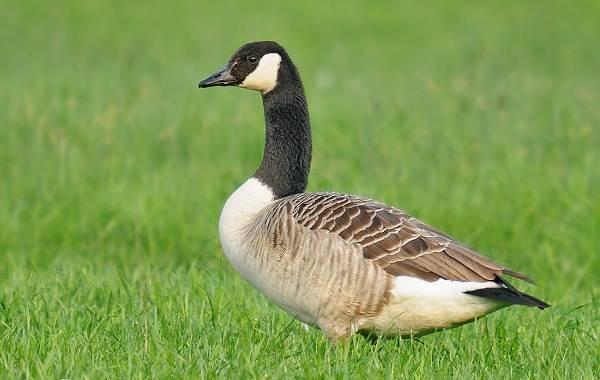 Казарка-птица-Описание-особенности-виды-образ-жизни-и-среда-обитания-казарки-6