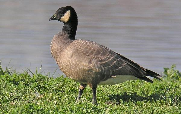 Казарка-птица-Описание-особенности-виды-образ-жизни-и-среда-обитания-казарки-7