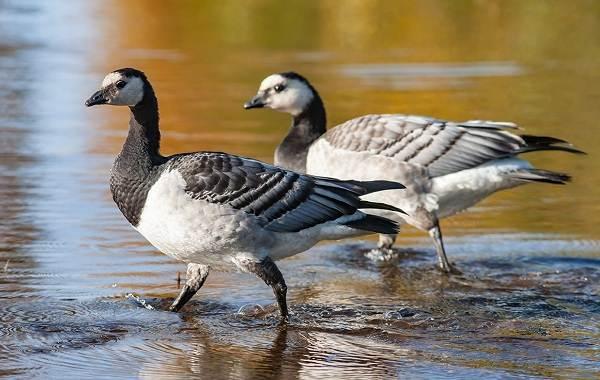 Казарка-птица-Описание-особенности-виды-образ-жизни-и-среда-обитания-казарки-9