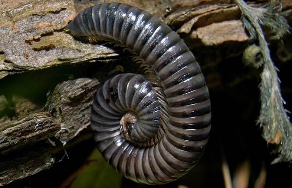 Кивсяк-многоножка-Описание-особенности-виды-образ-жизни-и-среда-обитания-кивсяка-10
