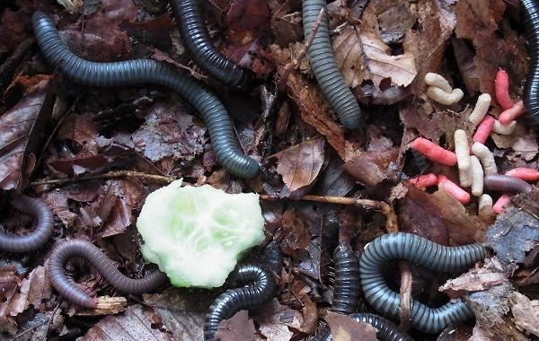 Кивсяк-многоножка-Описание-особенности-виды-образ-жизни-и-среда-обитания-кивсяка-12