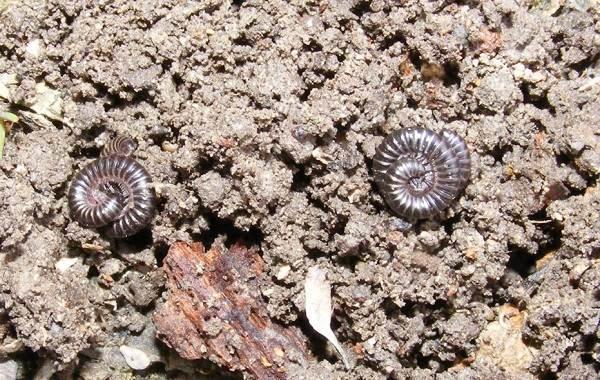 Кивсяк-многоножка-Описание-особенности-виды-образ-жизни-и-среда-обитания-кивсяка-15