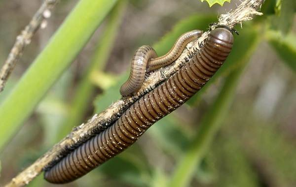 Кивсяк-многоножка-Описание-особенности-виды-образ-жизни-и-среда-обитания-кивсяка-6