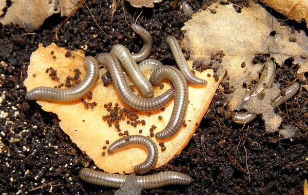 Кивсяк-многоножка-Описание-особенности-виды-образ-жизни-и-среда-обитания-кивсяка-8