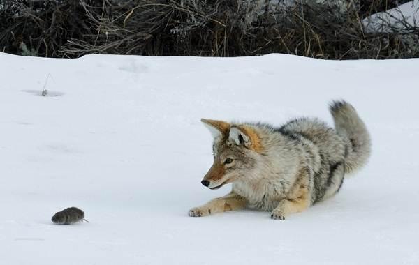 Койот-животное-Описание-особенности-виды-образ-жизни-и-среда-обитания-койота-10