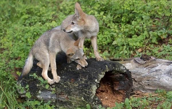 Койот-животное-Описание-особенности-виды-образ-жизни-и-среда-обитания-койота-12
