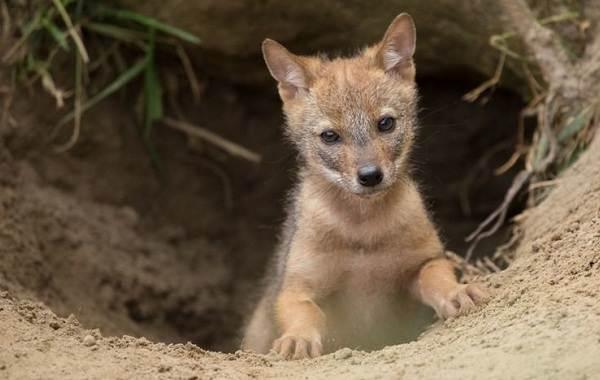 Койот-животное-Описание-особенности-виды-образ-жизни-и-среда-обитания-койота-13