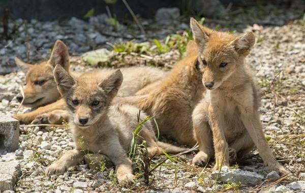 Койот-животное-Описание-особенности-виды-образ-жизни-и-среда-обитания-койота-14