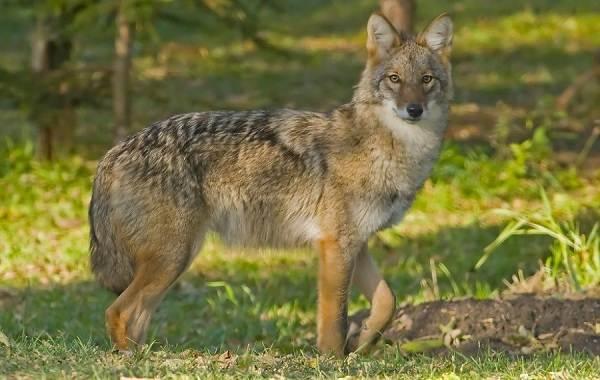 Койот-животное-Описание-особенности-виды-образ-жизни-и-среда-обитания-койота-3