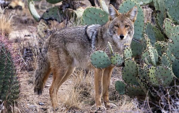 Койот-животное-Описание-особенности-виды-образ-жизни-и-среда-обитания-койота-5