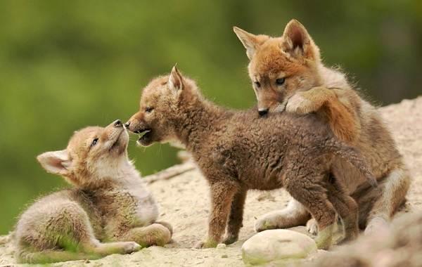 Койот-животное-Описание-особенности-виды-образ-жизни-и-среда-обитания-койота-6