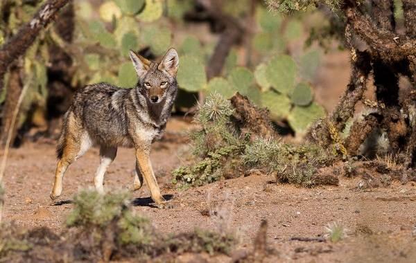 Койот-животное-Описание-особенности-виды-образ-жизни-и-среда-обитания-койота-7