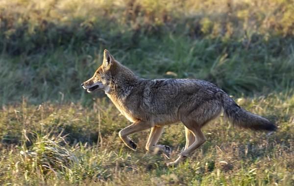 Койот-животное-Описание-особенности-виды-образ-жизни-и-среда-обитания-койота-8