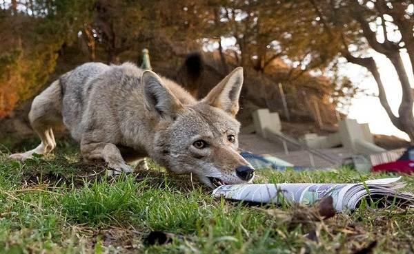 Койот-животное-Описание-особенности-виды-образ-жизни-и-среда-обитания-койота-9