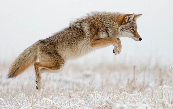 Койот-животное-Описание-особенности-виды-образ-жизни-и-среда-обитания-койота