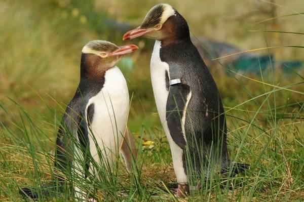 Королевский-пингвин-Описание-особенности-виды-образ-жизни-и-среда-обитания-птицы-11