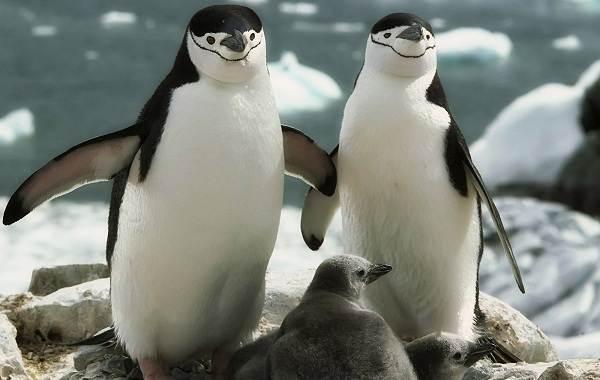 Королевский-пингвин-Описание-особенности-виды-образ-жизни-и-среда-обитания-птицы-12