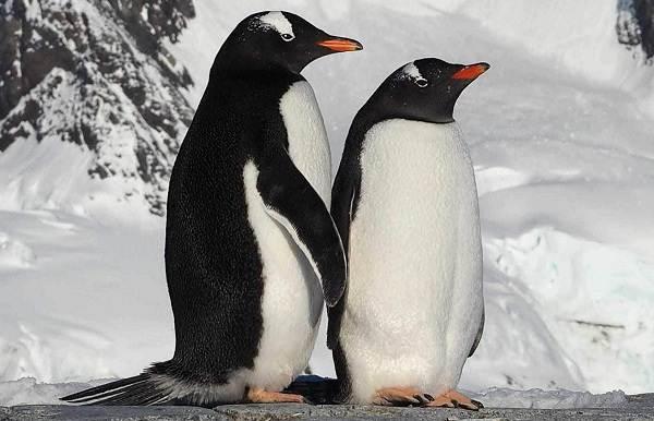 Королевский-пингвин-Описание-особенности-виды-образ-жизни-и-среда-обитания-птицы-13