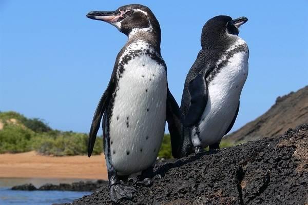 Королевский-пингвин-Описание-особенности-виды-образ-жизни-и-среда-обитания-птицы-14