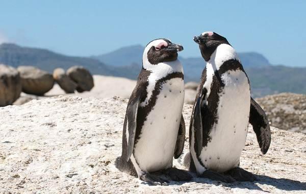 Королевский-пингвин-Описание-особенности-виды-образ-жизни-и-среда-обитания-птицы-15