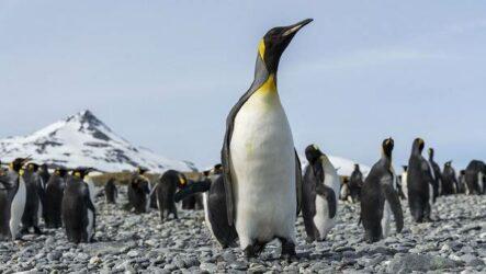 Королевский пингвин. Описание, особенности, виды, образ жизни и среда обитания птицы