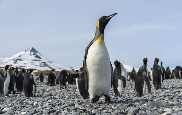 Королевский-пингвин-Описание-особенности-виды-образ-жизни-и-среда-обитания-птицы-16