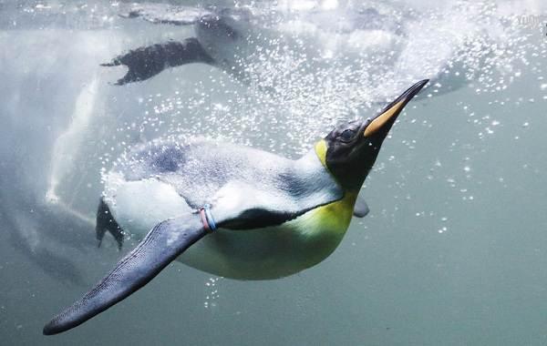 Королевский-пингвин-Описание-особенности-виды-образ-жизни-и-среда-обитания-птицы-17