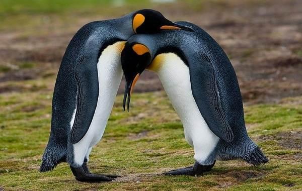 Королевский-пингвин-Описание-особенности-виды-образ-жизни-и-среда-обитания-птицы-18