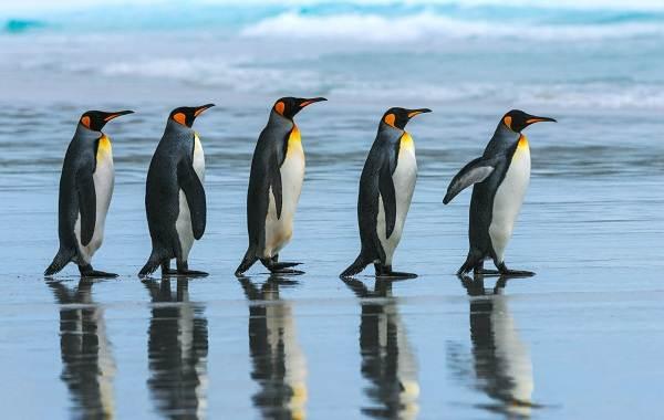 Королевский-пингвин-Описание-особенности-виды-образ-жизни-и-среда-обитания-птицы-19