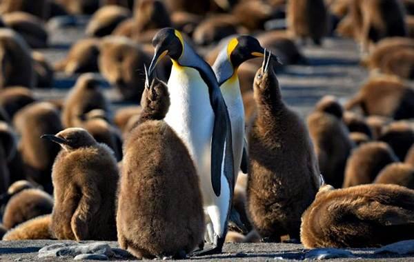 Королевский-пингвин-Описание-особенности-виды-образ-жизни-и-среда-обитания-птицы-2