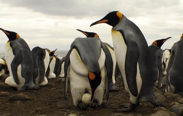 Королевский-пингвин-Описание-особенности-виды-образ-жизни-и-среда-обитания-птицы-20
