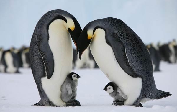 Королевский-пингвин-Описание-особенности-виды-образ-жизни-и-среда-обитания-птицы-21