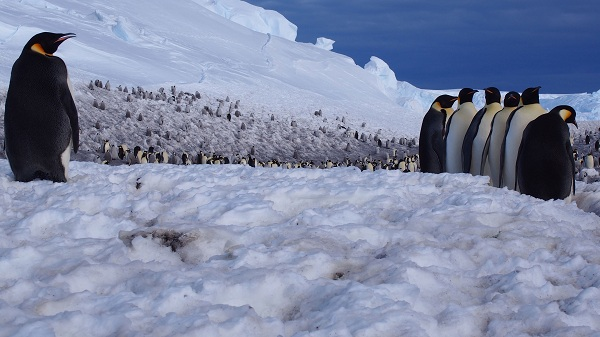 Королевский-пингвин-Описание-особенности-виды-образ-жизни-и-среда-обитания-птицы-22